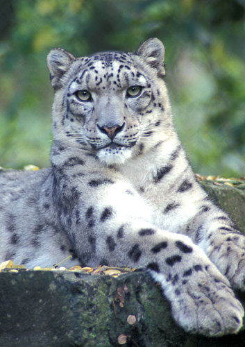Snow Leopard (State Animal of Himachal Pradesh)